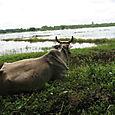 Mekong - vache pensante